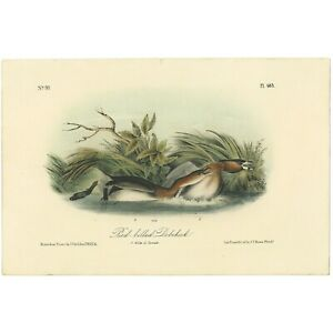 Audubon Octavo 1st Ed 1840 hand-colored lithograph Pl 483 Pied-billed Dobchick