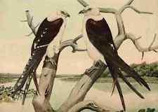 A4 Photo Brasher Rex 1919 Swallow tailed Kite Print Poster