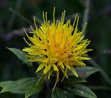 Saffron Seeds -Yellow- Rare -  Easy to Grow -  theseedhouse -  75 Organic Seeds