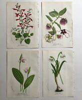4 Van Houtte 1856 Antique Prints - Floral Flower Botanical Decor Gift Salvia