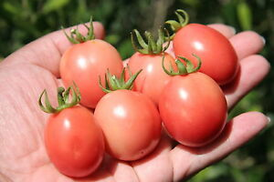 TOMATO 'Thai Pink Egg' 25+ seeds TROPICAL HUMID CLIMATES vegetable garden BUSH