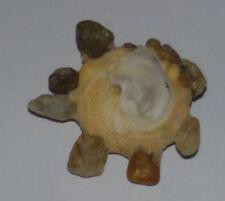 Conchiglia Shell XENOPHORA SENEGALENSIS  mm 29,5  Senegal