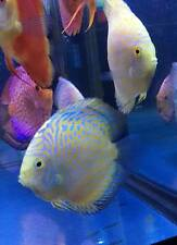 Yellow Pigeon Discus (Yellow Checkerboard Discus) Large Size - Live Fish