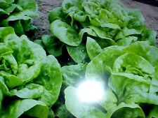 "ORGANIC ""MINIATURE"" BIBB LETTUCE SEED CAN PLANT IN GARDEN AREA or POT-CONTAINER"