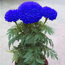 200PCS BLUE MARIGOLD MAIDENHAIR SEEDS HOME GARDEN EDIBLE FLOWER PLANT SEED FADDI