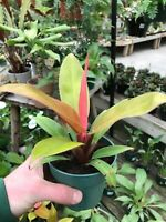 "Philodendron Prince of Orange - 4"" Pot - excellent color!"