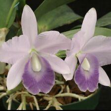 Lc Floralias Azul 'Sandra' Am X C amethystoglossa coerulea 'Blue Sky' 2.5� (12)