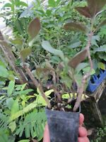 Several Rooted Okinawa Spinach Gynura Crepioides medicinal Herb Plant