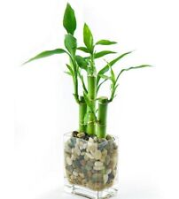 3 x CHINESE LUCKY WATER BAMBOO STRAIGHT Canes Dracaena 200mm plants in vials