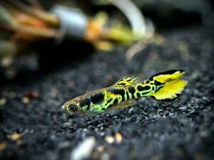 Pair Of Yellow Tiger Endler Guppy 1 Male + 1 Female
