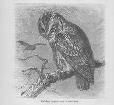 Waldkauz Strix aluco Holzstich von 1891 Eulen G. Mützel