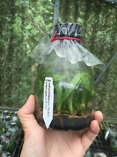 QOB Orchid Flask Multiflorous Paphiopedilum rothschildianum x laevigatum