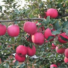20x Fascinating Bonsai Apple Tree Seeds Garden Yard Gaint Fruit Plant New Potted
