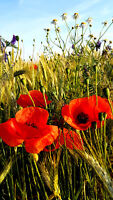 Wilder roter MOHN (Papaver) ca.8 cm große Blüten, dunkelrot, Deko, Bauerngarten