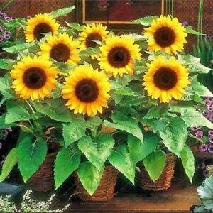25 Sunspot Dwarf Sunflower Seed Heirloom NON-GMO Fresh Seed CUTE, STUBBY, & FUN