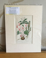 Original Antique Botanical Chromolithograph Print 1899 - Mounted
