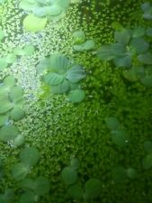 20 Dwarf water lettuce Pistia Stratiotes +5 tbs of duckweed  + American Duck