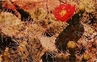 Chrome Postcard AZ I421 Red Prickly Pear Opuntia Desert Botanical Garden Phoenix