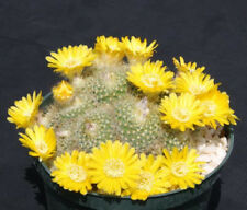 Parodia aureispina exotic yellow flower color cacti rare cactus seed 100 SEEDS