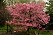 Pink Flowering Dogwood 10 seeds.   trees, seeds