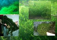 Nadelkraut/ Quellmoos/ Elodea.... immergrüne Wasserpflanzen für Teich & Aquarium