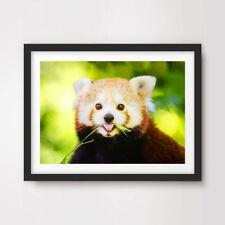 RED PANDA ANIMAL WILDLIFE PHOTOGRAPHY ART PRINT Poster 8x10 11x14 12x16 16x20 in