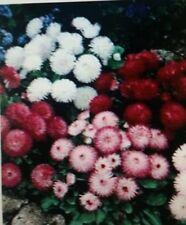 Bellis Perennial English Daisy Mixed Flower Seeds