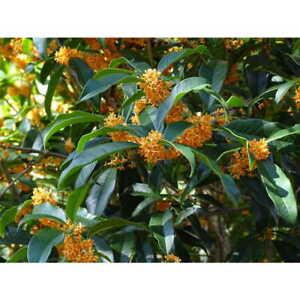 Apricot Echo Orange Tea Olive ( osmanthus ) - Live Plant - Trade Gallon Pot