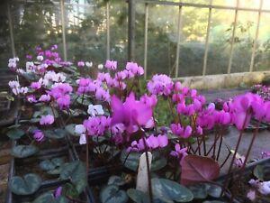 Cyclamen Coum,  50 seeds,  Stinky Ditch hybrids, online growing advice
