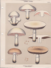 MUSHROOM PRINT. Edible Fungi Of New York. Circa 1900 ~Agaricus Campester~