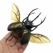 More details for (spread) huge atlas beetle chalcosoma chiron indonesian insect
