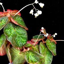 Begonia ( MANAUS ) Indoor~Terrarium~Hanging Pots ~1 Plant