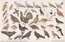 RSPB - Bird Cards - 1960 - N.W.CUSA . Chart N° 3 - 325X210
