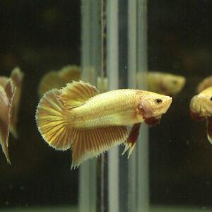 Live Betta Fish Male Super Gold/24K Gold Red Tie HMPK.