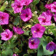 Four O'Clock - Pink- (Mirabilis Jalapa )- 50 Seeds