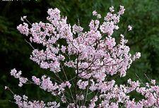 20 Semillas de Flor de Cerezo Japones (Sakura)