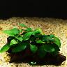 Anubias Nana 10+ Leaves Planted on Driftwood Live Aquarium Plant Betta Fish Tank