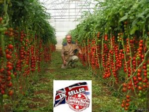 Tomato Tsifomandra Vegetable Seeds Tree Tomato UK STOCK