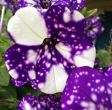 50 + SEEDS!  Night Sky Petunia Seeds - Looks Like Galaxy Stars!