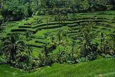 802041 Rice Terraces Tegalalang Bali Indonesia A4 Photo Print