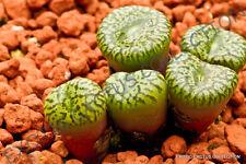 RARE CONOPHYTUM OBCORDELLUM SSP CERESIANUM @ living stones mesemb cacti 15 SEEDS