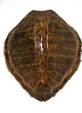 """Carapace de tortue de mer de Martinique des année 1960 """" GROSSE CARETTE """""""