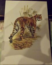 N°115 Mammal Poster Tiger Nepal Asia India Kumaon