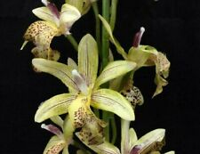 "Cymbidium Orchid SprayStem~Lt,Green/Yellow Tone,Burgundy Accent~Artificial~36""T"