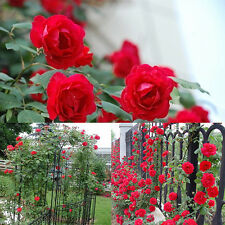 New 100pcs Red Climbing Rose Seeds Fragrant Flower Party Wedding Garden Decor