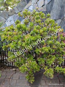 3 varieties Crassula Jade Succulents ET finger, argentea compacta, regular jade