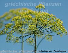 Wilder Fenchel Heilpflanze Plante Aromatique thé 25 graines frais balcon
