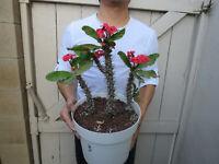 Euphorbia Milii Crown of Thorns Flower Cactus Large Blooms