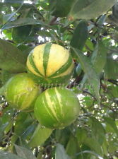 5 seeds SEMI DI Citrus Aurantium L Fasciata - (Rarissimo)