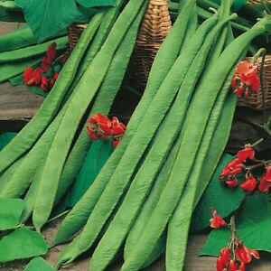 Fire Bean Crusader - 5+ seeds - Semillas - Graines - Samen - RARITY!